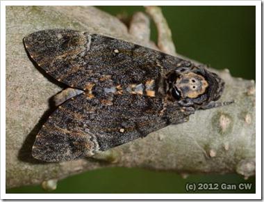 Acherontia lachesis-20120206_DN43