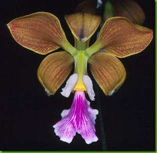 OR Encyclia advena