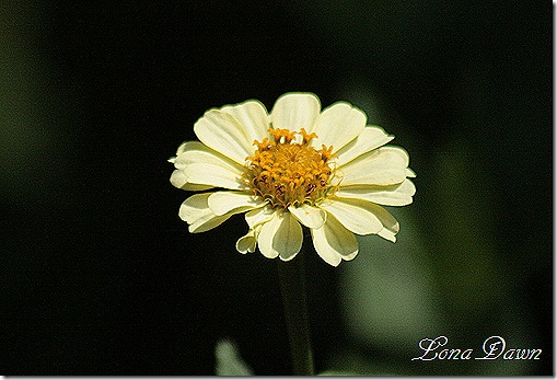 Zinnia_Yellow