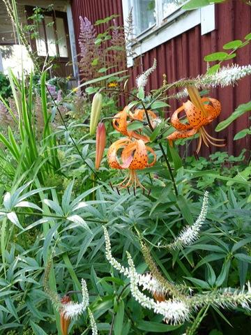 002 Lilium lancifolium, Veronicastrum virginicum 'Album' Daniel Grankvist