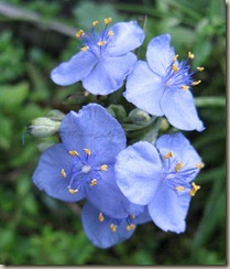 09-11-spiderwort