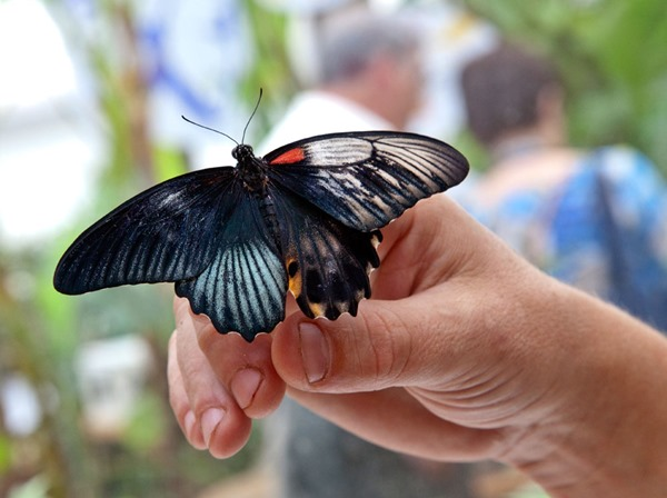 Gynandromorph Butterfly