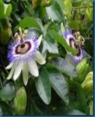 passionflower host for variegated fritillary caterpillar