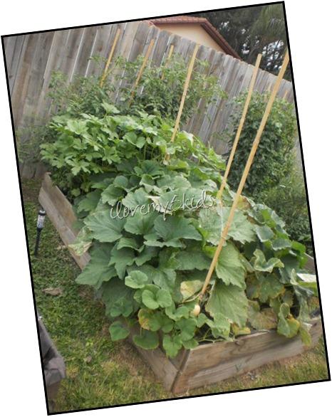 Squash, Zucchini, Okra and Tomato Garden