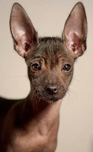 Amazing Pictures of Animals, Photo, Nature, Incredibel, Funny, Zoo, Dog, Mexican Hairless Dog, Xoloitzcuintle, Mammals, Alex (10)