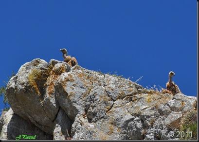 Buitre leonado (27)