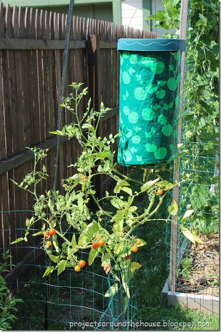 topsy turvy sungold tomato