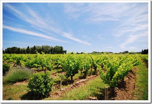 南法葡萄園