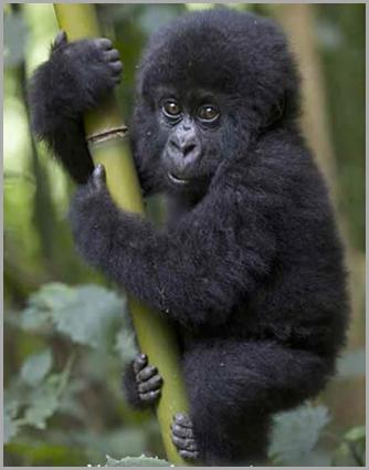 Gorila bebe - copia