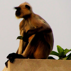 The Thinker by Adhiraj Ghosh - Novices Only Wildlife ( roof, tree, sunrays, leaves, monkey, concrete )