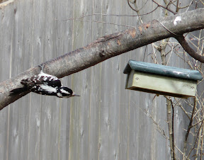 Harriet the Hairy Woodpecker going for the upside-down suet feeder