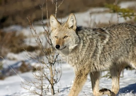 Amazing Pictures of Animals, Photo, Nature, Incredibel, Funny, Zoo, Coyote, Canis latrans, Alex (17)