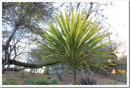 130119_UCDA_AustralianCollection_Cordyline-australis-Torbay-Dazzler_109
