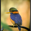 Rufous-Collared Kingfisher --- Halcyon concreta - Male.jpg
