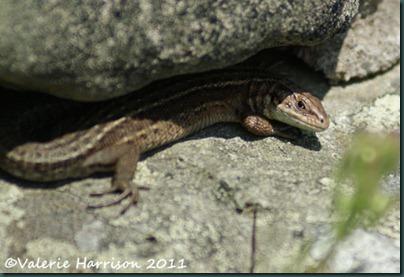 lizard-2