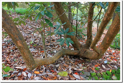 121228_UCBotGarden_Rhododendron-grande_01