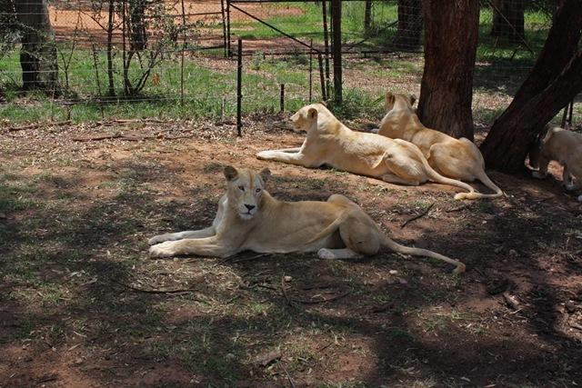 White Lioness, Lion Park Johannesburg