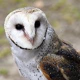ASnowy Owl - Adelaide, Australia
