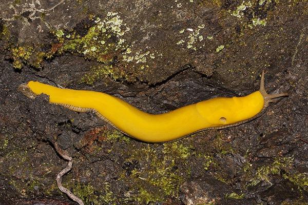 banana slug Ariolimax columbianus 26