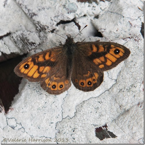 64-wall-butterfly