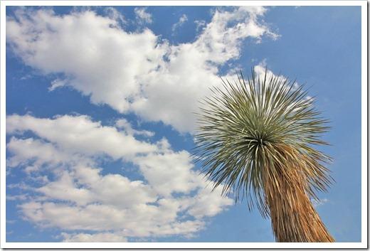 110223_living_desert_yucca_rostrata1b