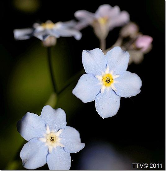 kukkia hyttynen mato 018