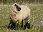 Ewe & Lambs compress9.JPG