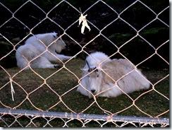2011.11.12-006 chèvres des Rocheuses