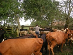 feed cows 027
