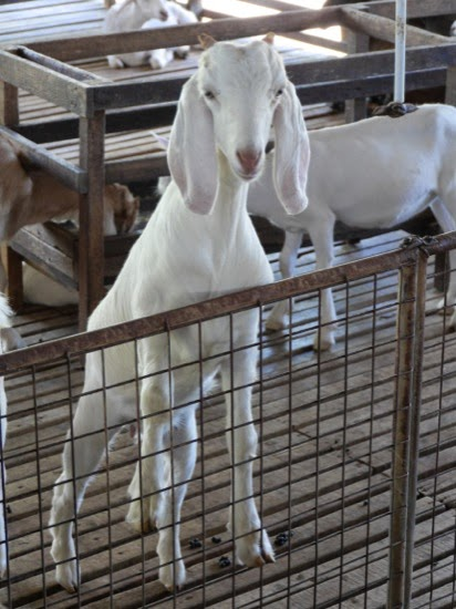 UK Farms - Goats at UK Farm