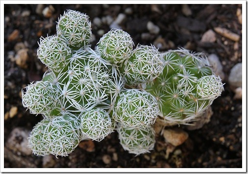 110804_Mammillaria-gracilis_02