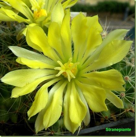 Mammillaria sphaerica fiore