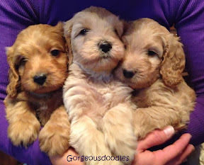 gorgeousdoodles labradoodle puppies in Utah and Colorado