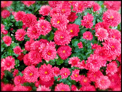 Chrysanthemums3a