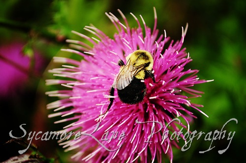 bee and thistle-2-w