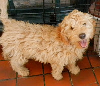 Apricot golden Labradoodle.