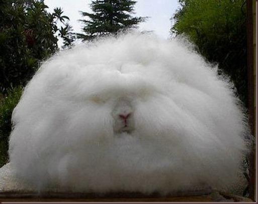 Amazing Animal Pictures Angora Rabbit (3)