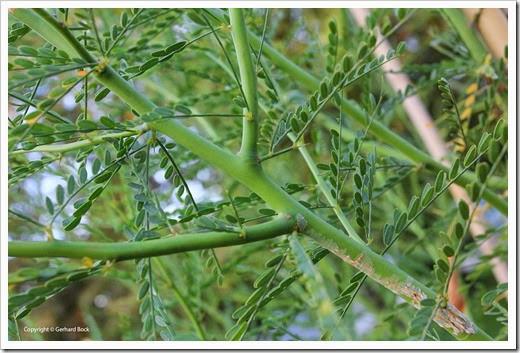 130930_Palo-verde-Desert-Museum_08