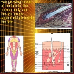 Anatomy of the hair follicle, body, and hair shaft from the skin (2) (640x640) (580x580)