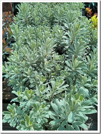 130315_GreenAcresFolsom_Euphorbia-Silver-Swan