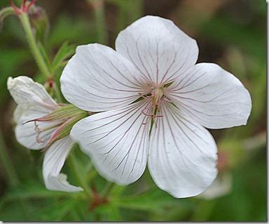 hvit geranium