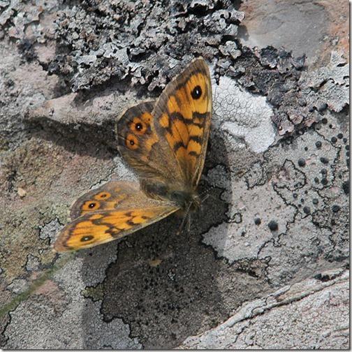 23-wall-butterfly