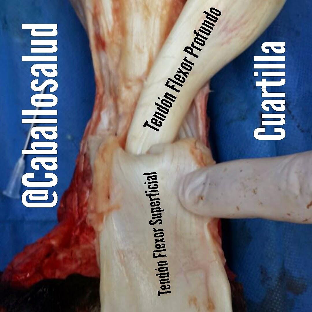 CABALLO SALUD: Anatomía Caballosalud cuartilla y sus tendones