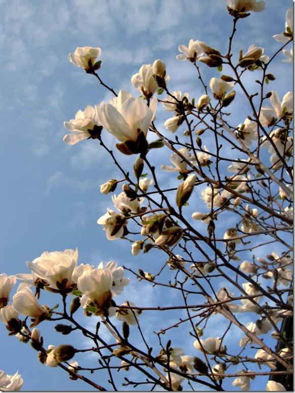 magnolia redigert