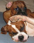 Gaia, a boxer from Fredericksburg, Texas, wants to sleep, but Butchie would rather she play with him, writes rebel_07.
