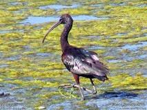 trégomeur ibis falcinelle