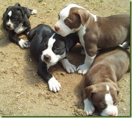 pit-bull-puppies