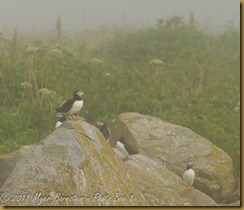 Puffins in fog MSB_7965 NIKON D300S July 03, 2011