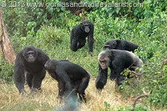 Chimpanzees on Ngamba Island Chimps Sanctuary on lake Victoria, Entebbe