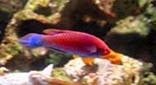 Biodiversité labre à ventre bleu